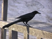 Cancun Crow